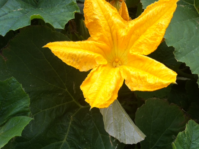 The flower is growning biggeropening.   This isthe pumpkin will grow.   This is how it looked in early July.