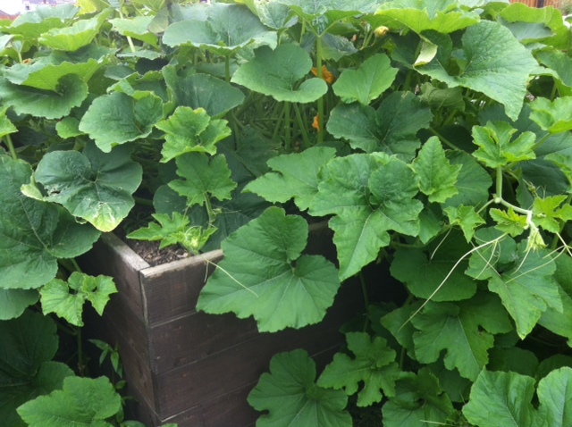 In July, the pumpkin plant was healthygrowing welll in our raised bed.