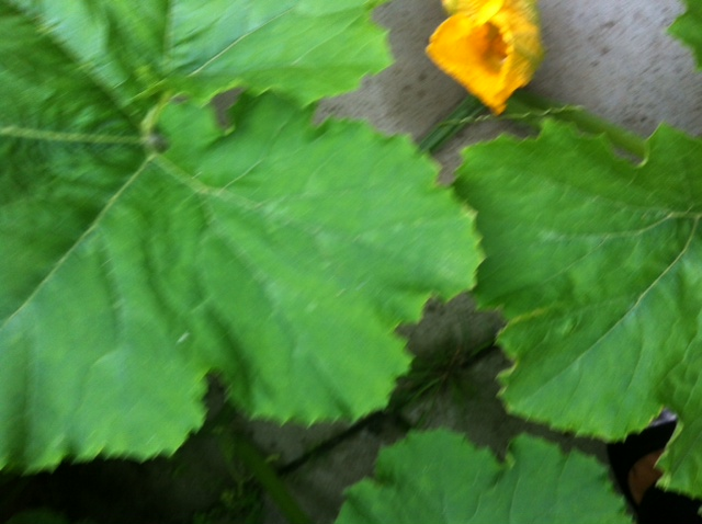 Here you can see the beginning of the flower of the pumpkin.